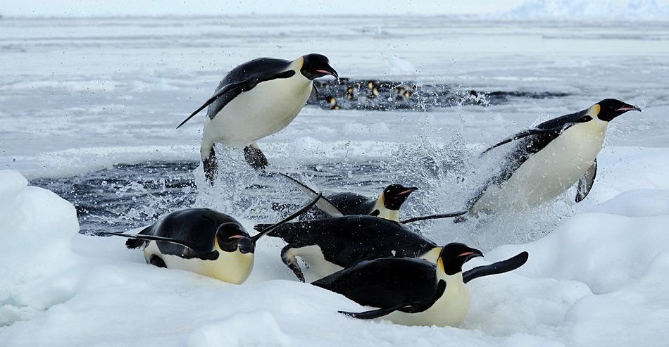 Beim Fischfang können sie unter dem Eis bis zu 450 Meter tief tauchen und mehr als eine Viertelstunde unter Wasser bleiben.