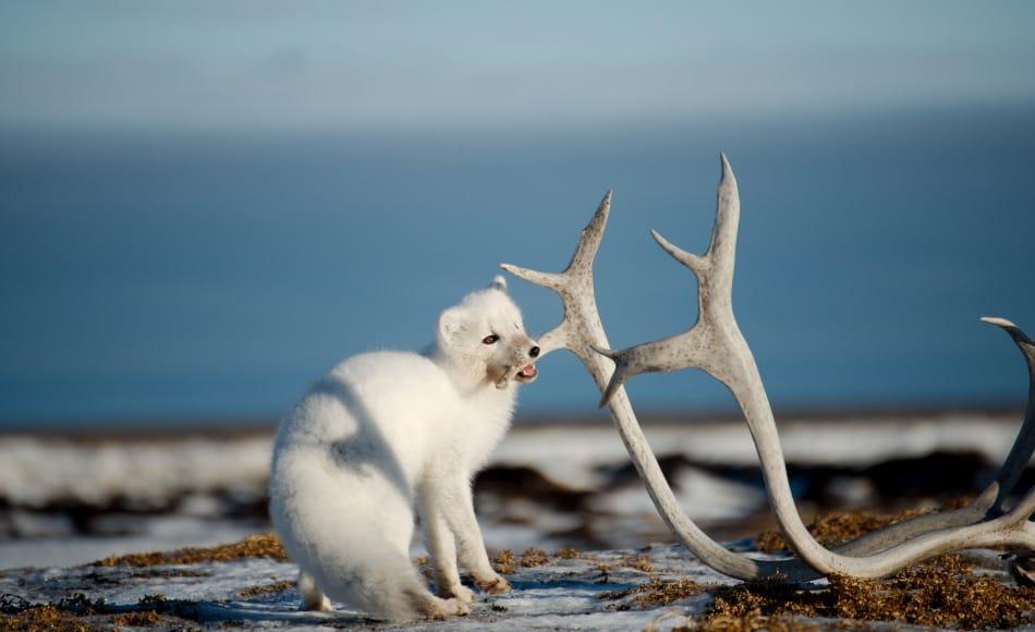 Neben Produkten aus Knochen und Zähnen sind vor allem auch Pelze ein grosses Fragezeichen. Gerade Polarfüchse, die aufgrund ihres wärmenden Fells schon seit Jahrhunderten zu den beliebtesten arktischen Handelsgütern zählen, werden auch heute noch immer wieder angeboten. Bild: Michael Wenger