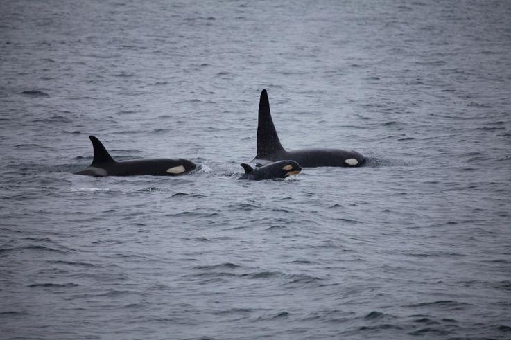 Orcas leben in festen Grossfamilien, die ein Leben lang zusammen bleiben. (Foto: