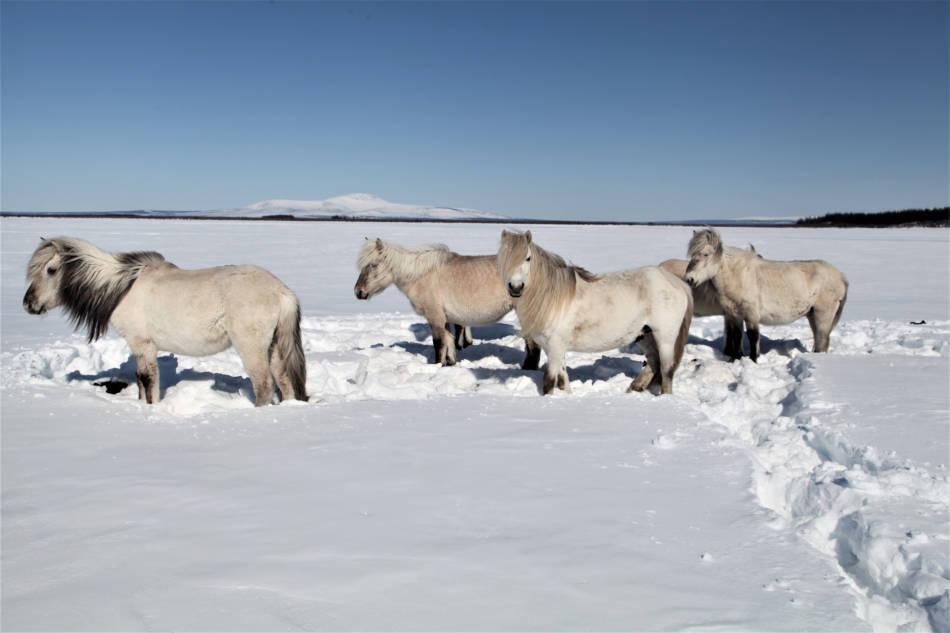 Grosse Pflanzenfresser wie Pferde und Rentiere könnten den Permafrost mit ihren stampfenden Hufen retten, so neue Forschungsergebnisse. (Foto: Pleistocene Park)